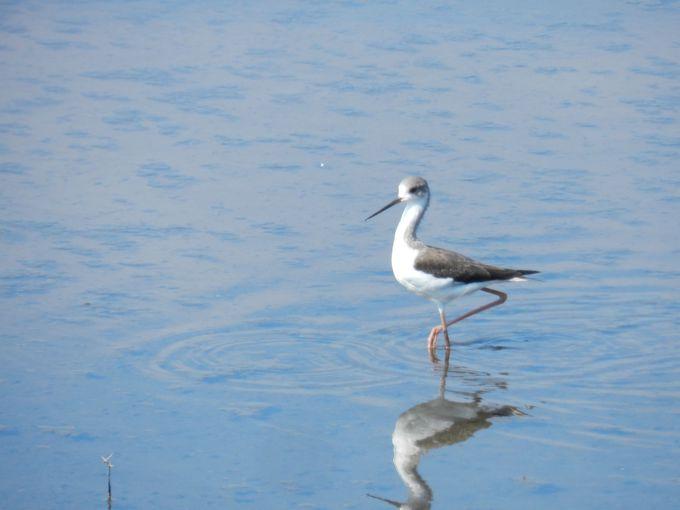 多々良沼は渡り鳥の中継地。秋はシギ・チドリで賑わいます