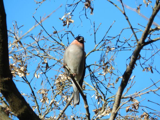 舞岡公園の冬の鳥1「木の枝にも、地面にも」