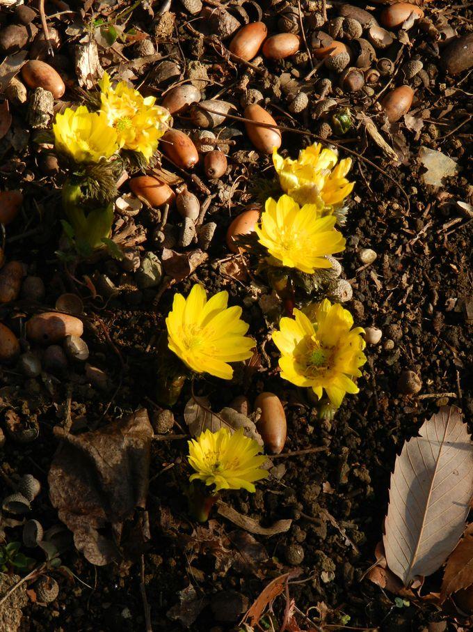 冬の自然観察園でぜひ見てほしい、キンポウゲ科の花の美しさ