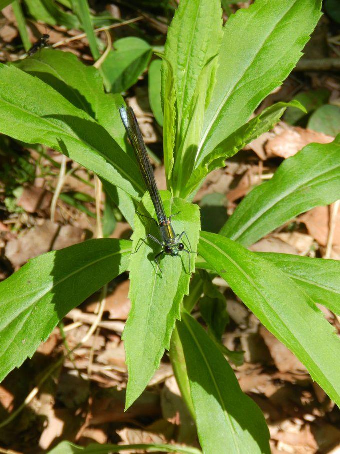 清らかな水環境が育む、水辺の昆虫たち