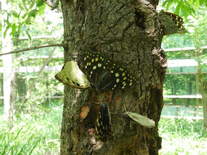 生態観察施設「ひばりうむ」で生きた国蝶を観察しよう