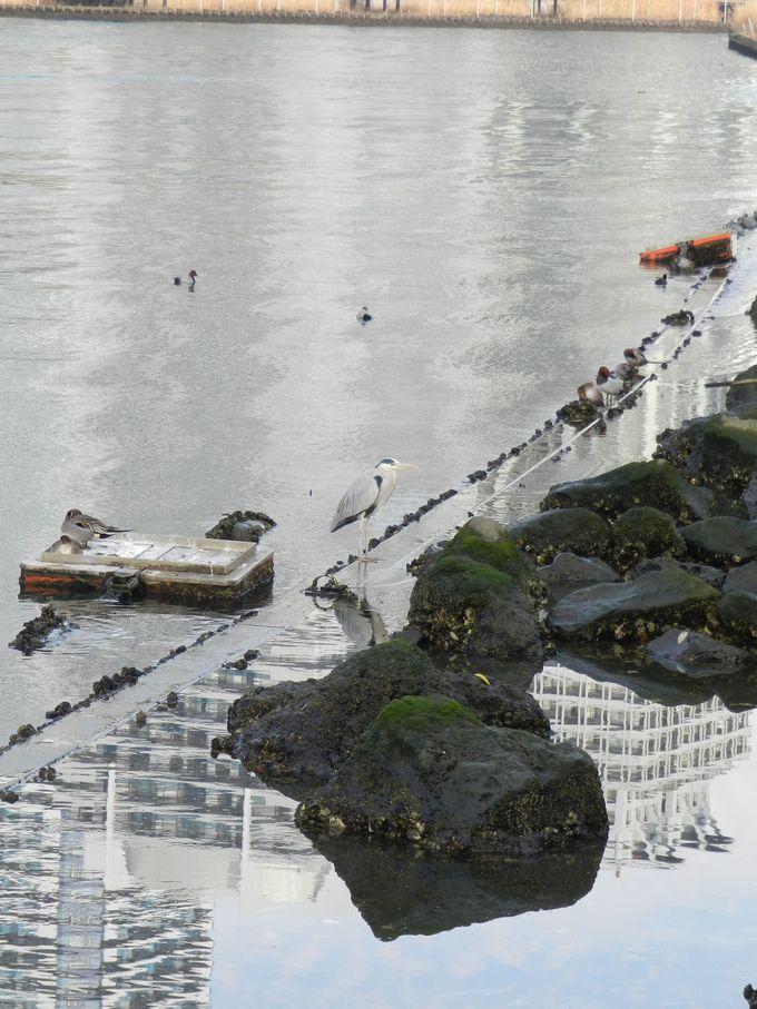 運河に隣接した「高島水際線公園」で、水鳥を観察!