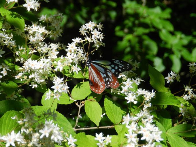 初夏の高尾山に現れる美しい昆虫たち