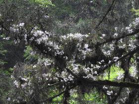 高尾山で木の上に咲くラン「セッコク」の花を探そう!