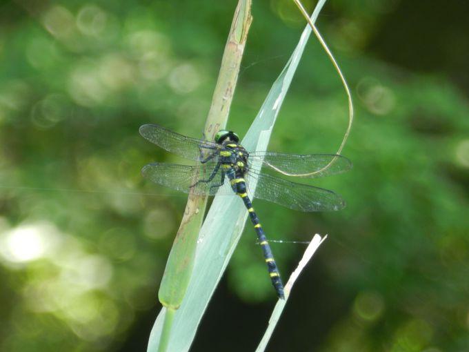 沼や小川のすぐ近く、森の中を縫うように飛ぶトンボたち