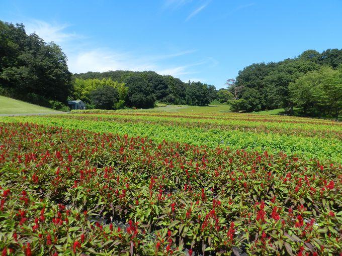 青空の下、夏のお花畑を楽しもう