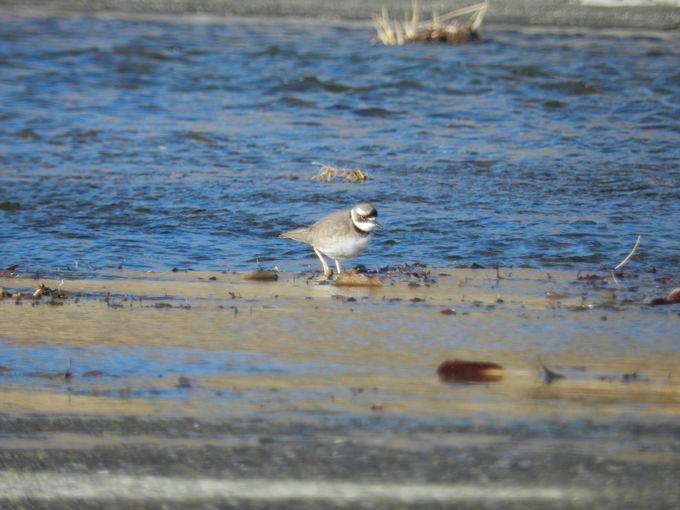 水面に注目! 晩秋〜早春の羽村堰周辺は水鳥の楽園です