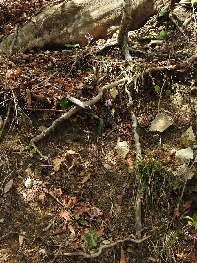 春の里山の華 カタクリを探そう!