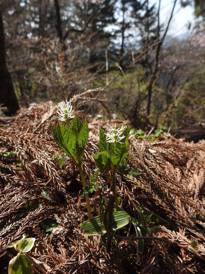 まだまだ他にもある!御岳山の春の花々