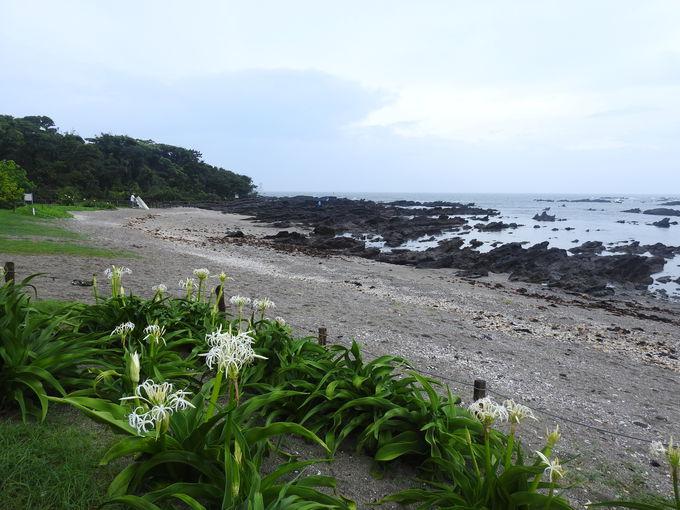 天神島に咲く、海岸ならではの花風景を楽しもう
