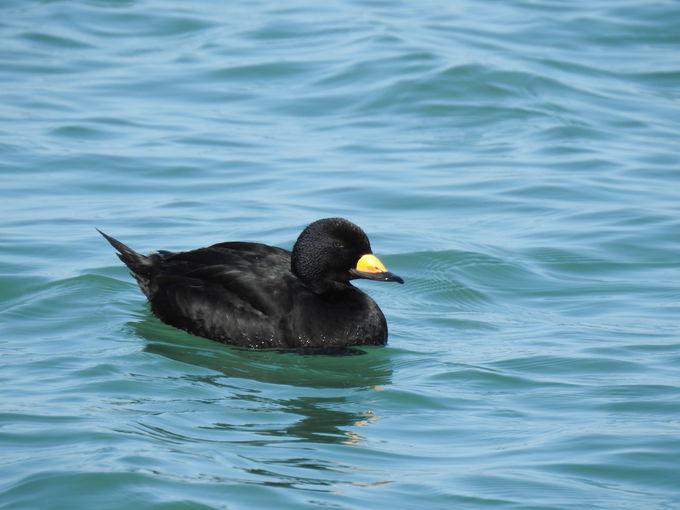 なぜか「黒いの」ばかり? 銚子漁港のカモメ以外の水鳥達