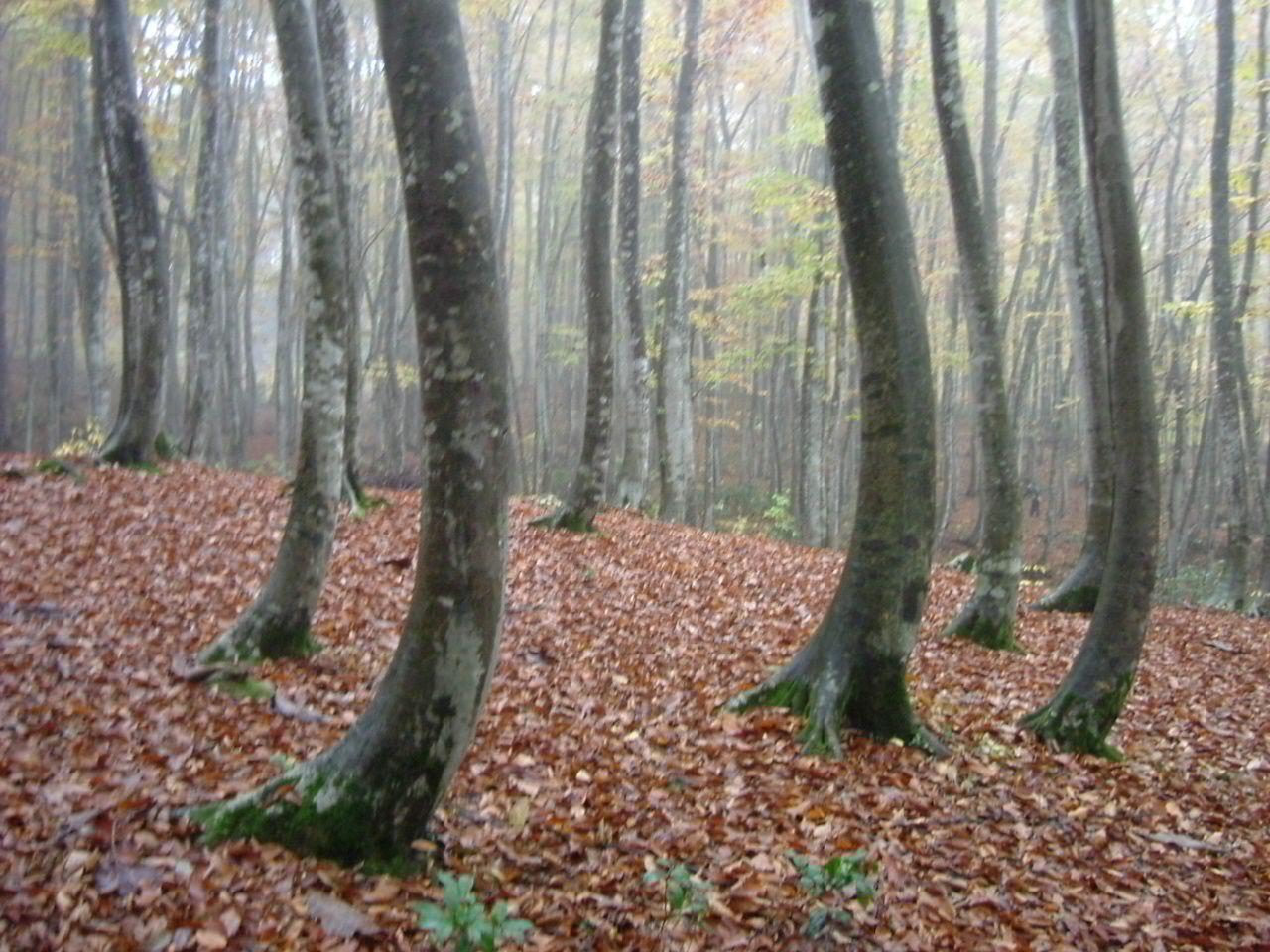 紅葉、新緑の美しいブナ林へ