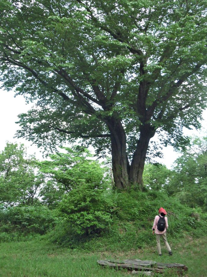 山のシンボルツリー、大きなヤマザクラが蘇る!