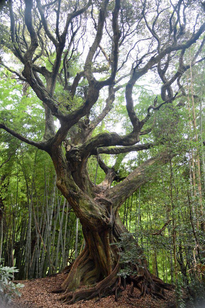 物の怪(もののけ)が棲む!?スダジイの巨木が茂る「天神の森」へ