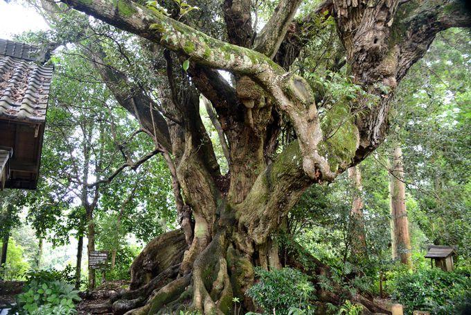 こちらは全国巨木ランキング上位に名を連ねる!「安久山の大スダジイ」