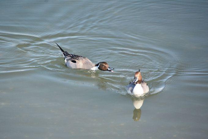 国境を越えて渡ってくる水鳥を観察しよう!