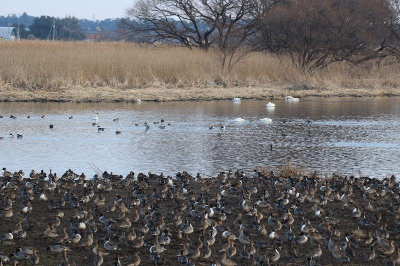 シベリアからの冬の使者ハクチョウに会いに群馬・多々良沼へ!