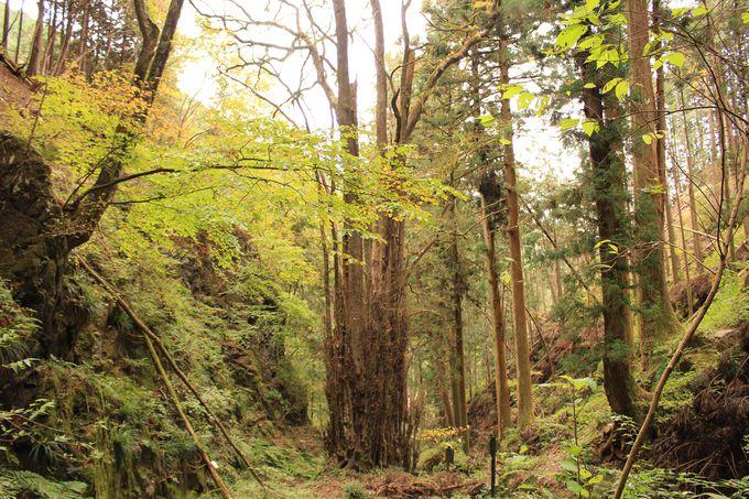 樹齢1000年のカツラの木が寄り添うように空に伸びる!千本カツラは加蘇山神社の御神木」
