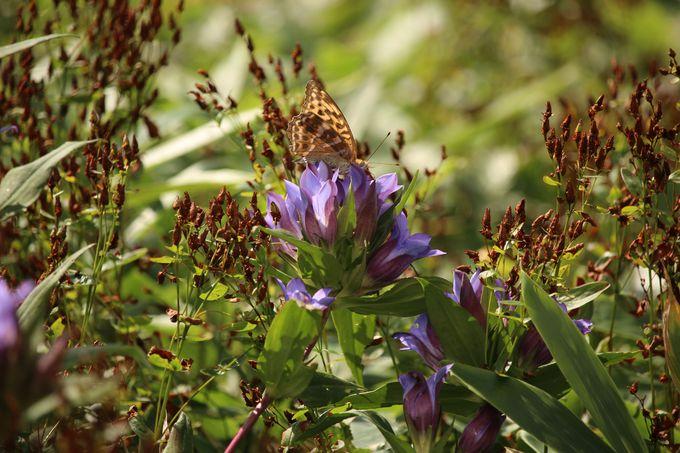 早秋の覚満淵はオヤマリンドウやアキノキリンソウが咲く!その隣ではワレモコウとススギが風に揺れる!!
