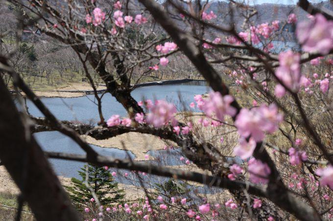 春の訪れはアカヤシオから始まる!清らかな雪解け水の覚満淵!!