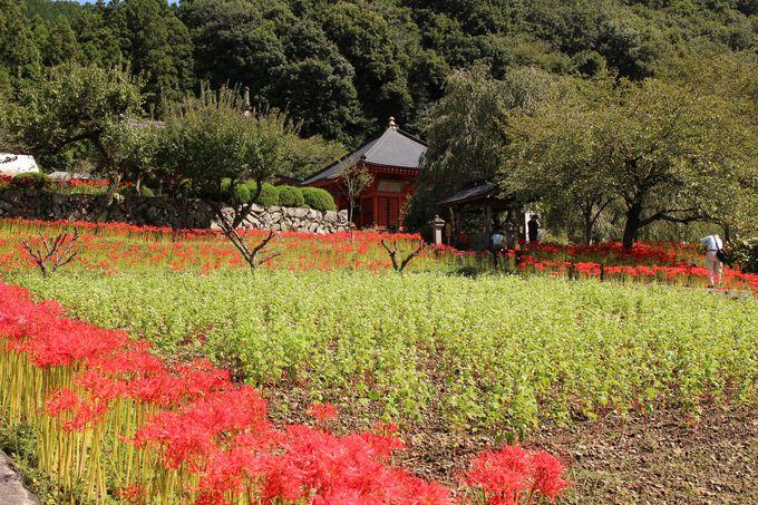 彼岸花の常楽寺は東国花の寺百ヶ寺・栃木6番札所
