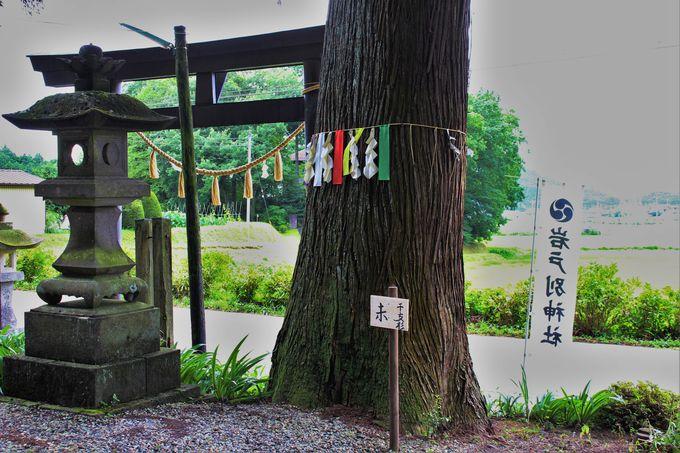 """""""ケガレ(穢れ)""""を""""ハラヘ(祓)""""へ!「干支杉巡り」で木(気)をいただこう!!"""