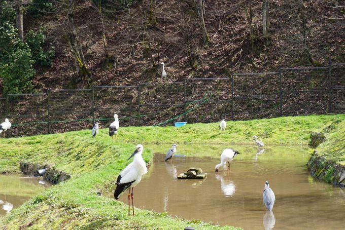 コウノトリの郷公園でかわいいひな鳥を見学しよう