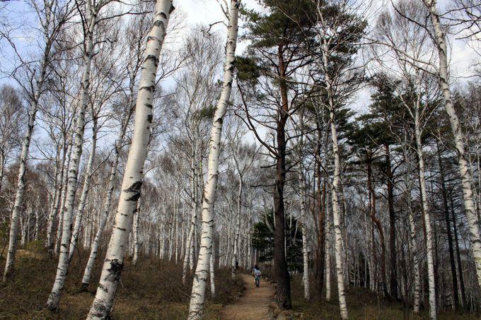白樺の森を歩く贅沢。異国気分も味わえる「八千穂高原自然園」