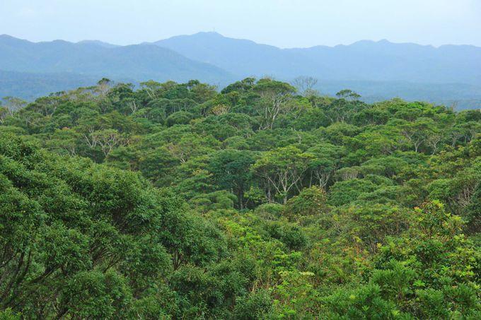 沖縄本島北東部、緑深い「やんばるの森」の中をのんびりドライブ
