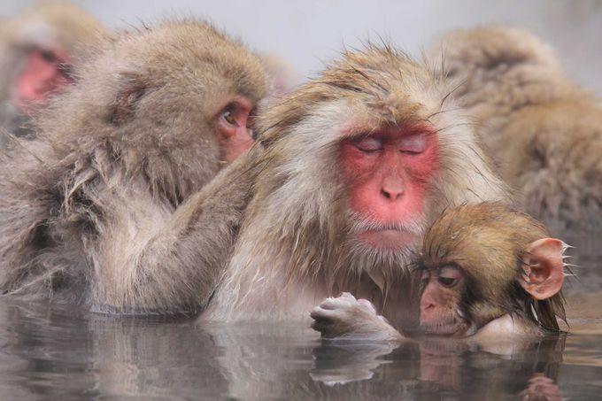 気持ち良さそうな、お猿たちの入浴風景