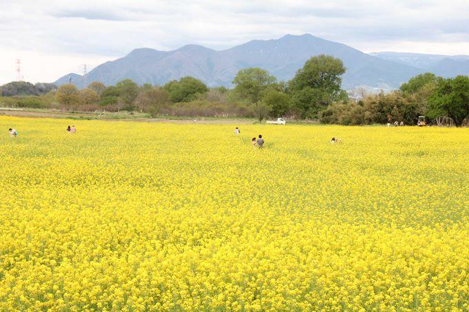 長野・小布施町、北信州の山々をバックに咲く一面の菜の花!