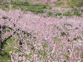 一面に桃の花咲く桃源郷 丹霞郷(たんかきょう)と周辺の花の見どころへ