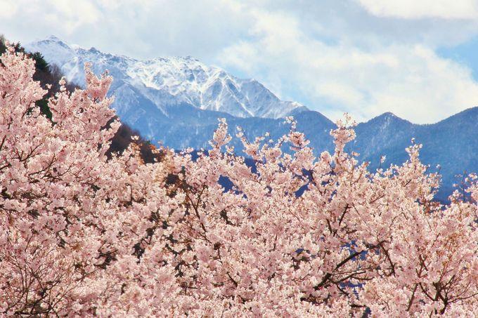 高遠と言えば、残雪の日本アルプスの山々とタカトウコヒガンザクラの風景