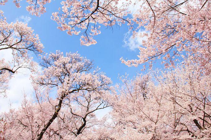 少し目線を変えて、見上げれば美しい!青空と薄紅色のタカトオコヒガン桜のコントラスト