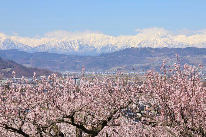 絵になる残雪の北アルプスとあんずの花の風景