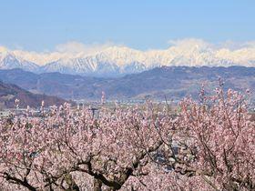 北アルプスとあんずの花の絶景!長野市松代東条あんずの里へ