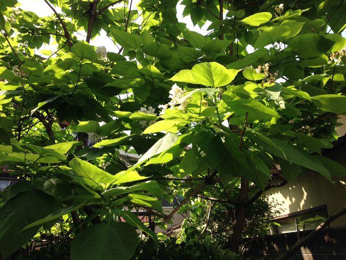 新島襄から贈られたカタルパの白い花が香る庭・・