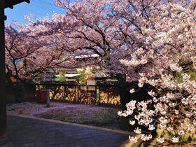 『流星ワゴン』が春を呼ぶ?!広島県・鞆の浦が桜色に染まる