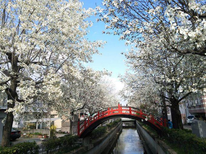 福山城下惣門に咲く〜白いこぶしの花並木