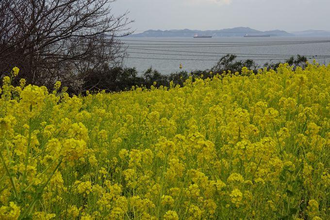広島県福山市田尻町に広がる、青い海を望む菜の花畑