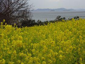 福山市田尻町は、菜の花から杏・桜まで〜あの有名番組のロケも!?