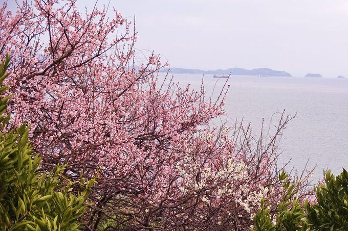 梅の香が漂う菜の花畑は、瀬戸内海を背景に