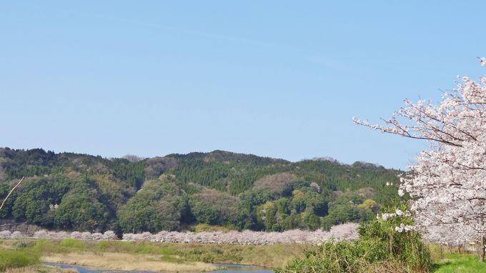 斐伊川は、ヤマタノオロチ伝説の地!今は、桜がこの川を彩る
