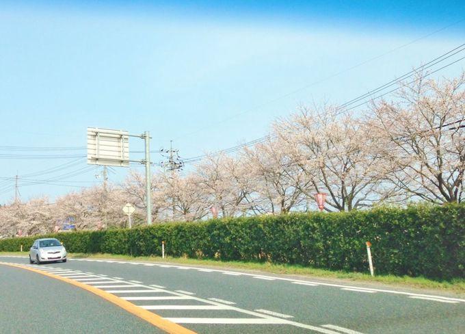 助手席からぱしゃりと桜並木の撮影も・・