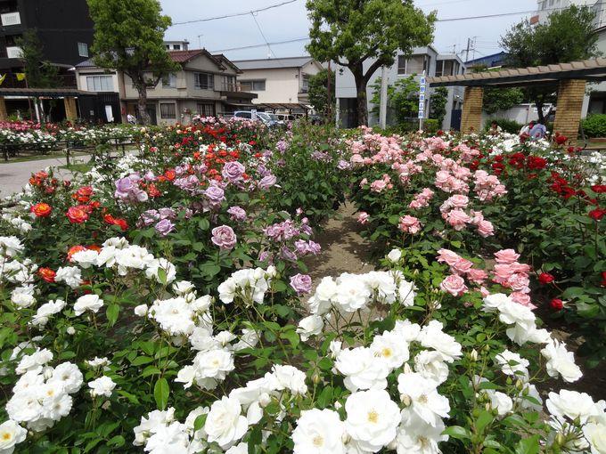 学びの館ローズコムのバラたち・・福山のばらのまちづくり