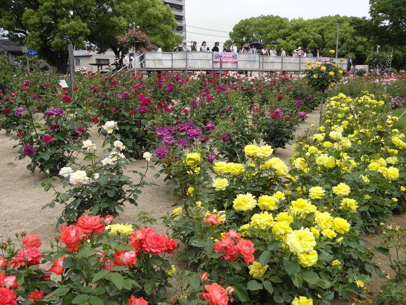 """ばら祭りも開催!バラの香り漂う""""ばらのまち""""城下町・福山"""