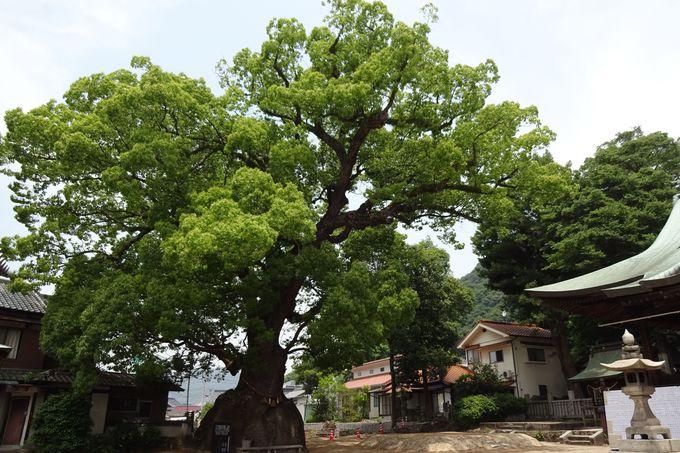 樹齢推定500年以上の大楠〜今も成長し続ける?!