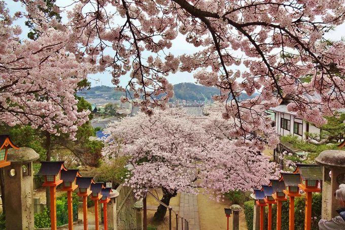 金堂や鐘楼堂へと続く階段は、桜のトンネル・・