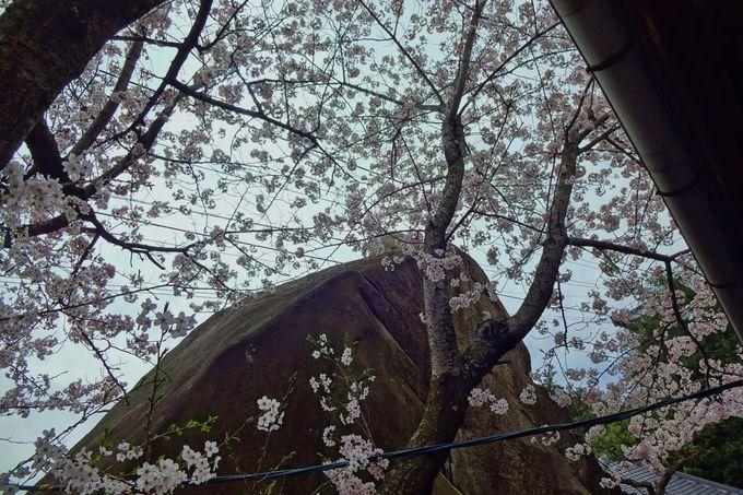 千光寺「玉の岩」を桜のレース越しに眺める