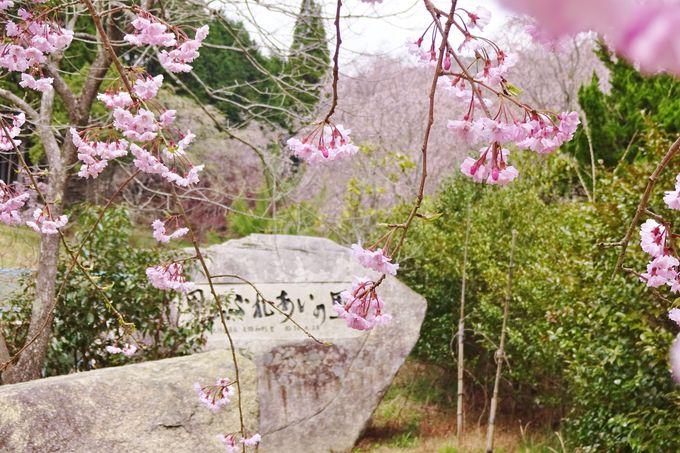 「世羅甲山ふれあいの里」でしだれ桜のトンネルを体験